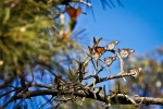 Monarch Butterflies on tree branches